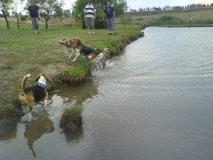 Harry shaking, Oscar getting out... Coda trying to get out, Ninja trying not to get his back paw wet... and human spectators enjoying the beagles romping!