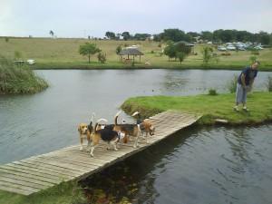 beagles on the wobbly bridge